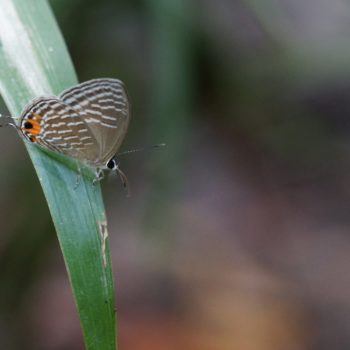Jamides celeno aelianus (Common Cerulean)