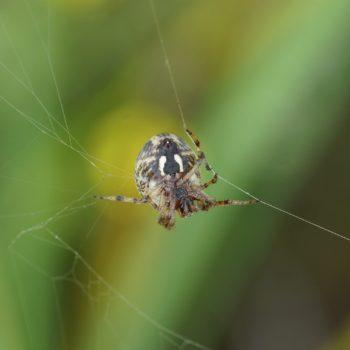 Larinioides cornutus (Schilfradspinne)