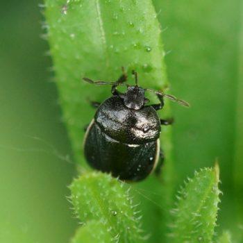 Legnotus limbosus (Weißrand-Wanze)
