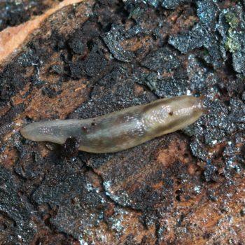 Lehmannia marginata (Baumschnegel)