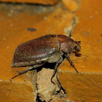 Leucopholis sp. (Blatthornkäfer)