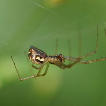 Linyphia triangularis (Gemeine Baldachinspinne)