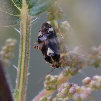 Liocoris tripustulatus (Gepunktete Nesselwanze)