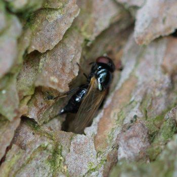 Lonchaea sp. (Fliege)