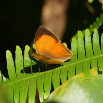 Loxura atymnus (Yamfly)