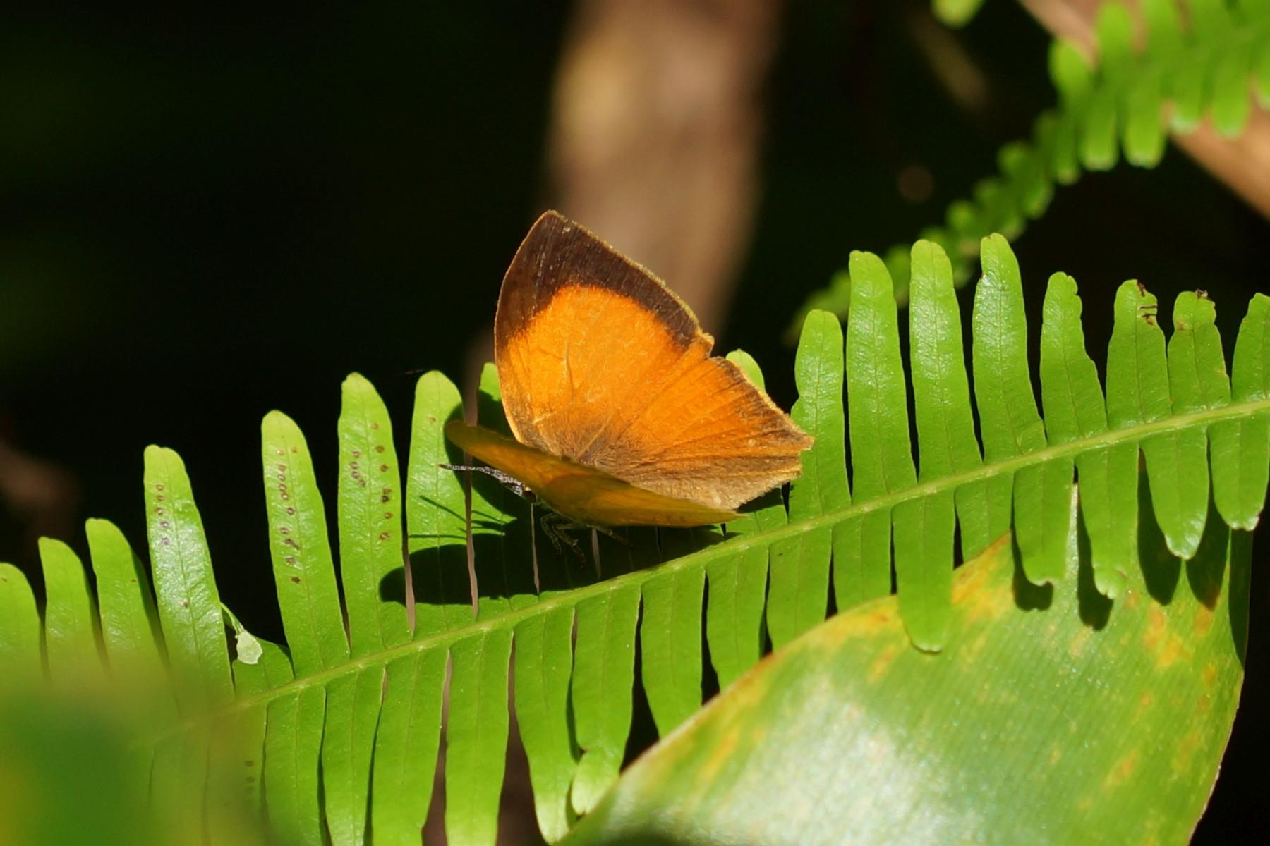 <i>Loxura atymnus</i> (Yamfly)