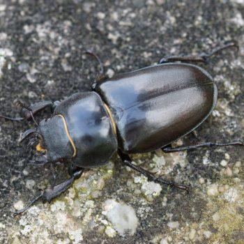 Lucanus cervus (Hirschkäfer)