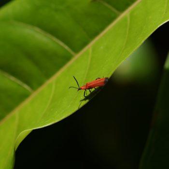 Lycidae sp. (Rotdeckenkäfer)