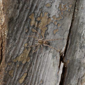 Lycosidae sp. (Wolfspinne)