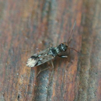 Lygaeidae sp. (Bodenwanze) - Thailand