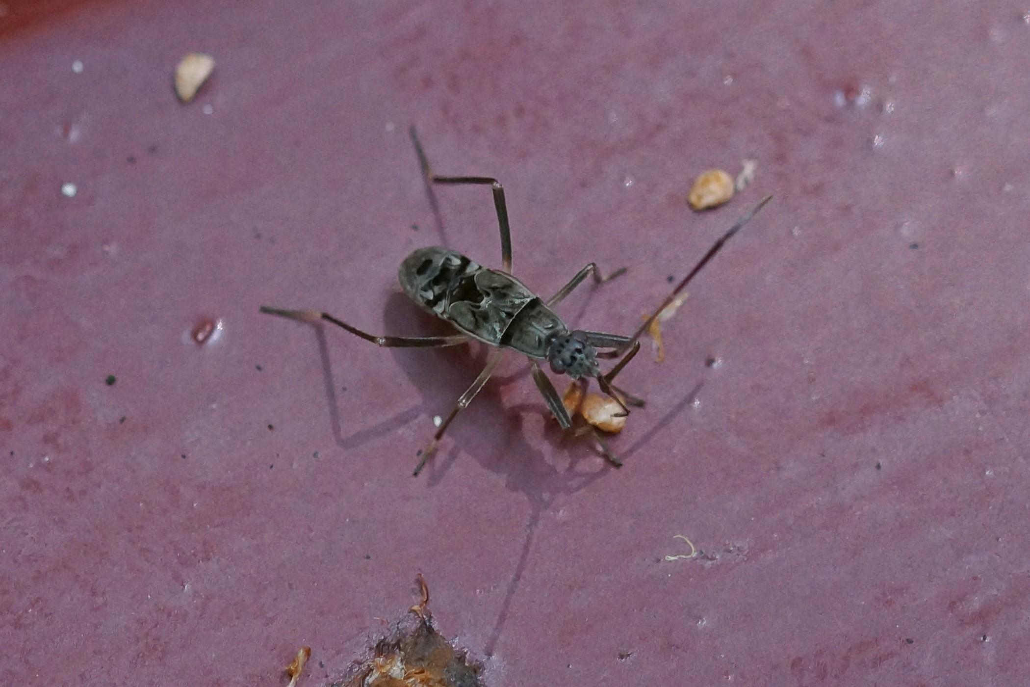 Lygaeidae sp. (Bodenwanze)