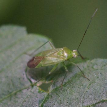 Lygocoris pabulinus (Grüne Futterwanze)