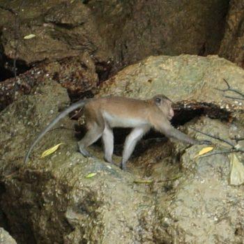 Macaca fascicularis (Javaneraffe) - Thailand