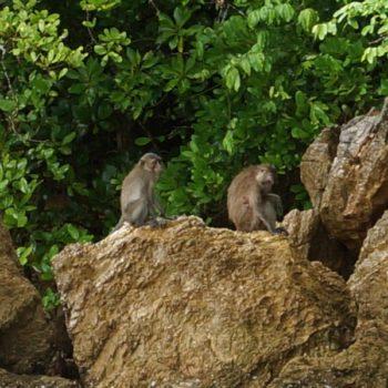 Macaca fascicularis (Javaneraffe)