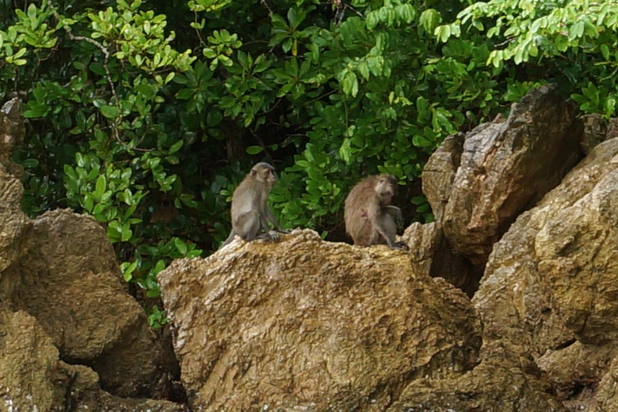 <i>Macaca fascicularis</i> (Javaneraffe)