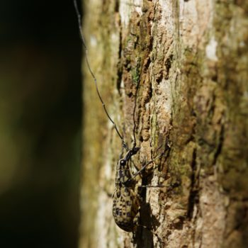 Mecocerus basalis (Breitrüssler)
