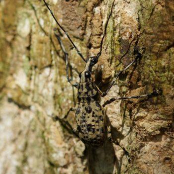 Mecocerus basalis (Breitrüssler) - Thailand