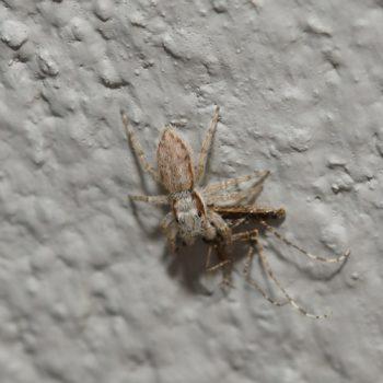 Menemerus bivittatus (Gray Wall Jumper)