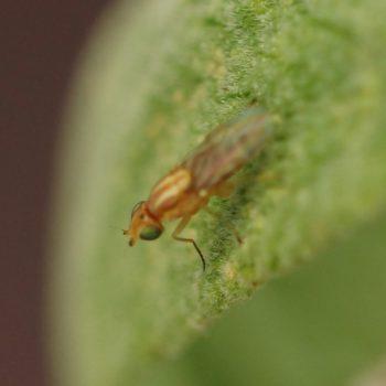 Meromyza sp. (Schenkel-Halmfliege)
