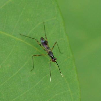 Mimegralla albimana (Stelzenfliege) - Thailand