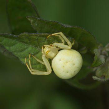 Misumena vatia (Veränderliche Krabbenspinne)