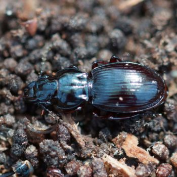 Pterostichinae