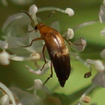Mordellistena sp. (Stachelkäfer)
