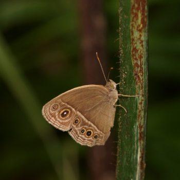 Mycalesis sp. (Bushbrown)