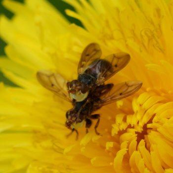 Myopa testacea (Buckelblasenkopffliege)