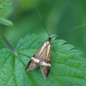 Nemophora degeerella/scopolii (Langhornfalter)