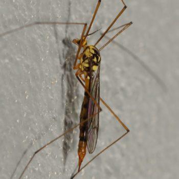 Nephrotoma sp. (Schnake) - Thailand