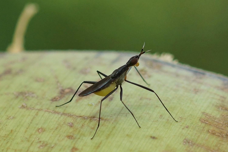 Neriidae sp. (Zweiflügler)