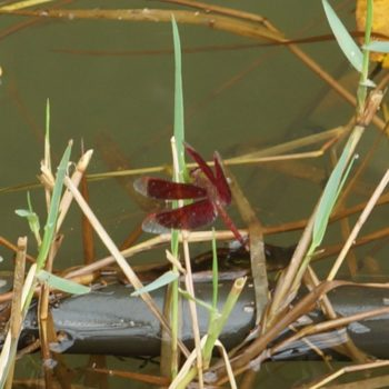 Neurothemis fluctuans (Red Grasshawk)