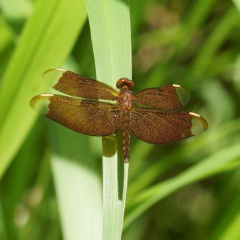 Neurothemis fulvia (Fulvous Forest Skimmer) - Thailand