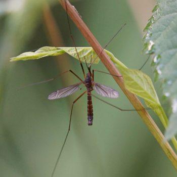 Nigrotipula nigra (Schnake)