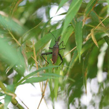 Notobitus meleagris (Bamboo Bug)