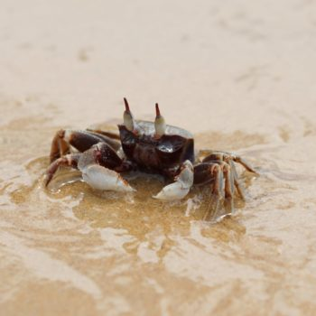 Ocypode ceratophthalma (Horn-eyed Ghost Crab)