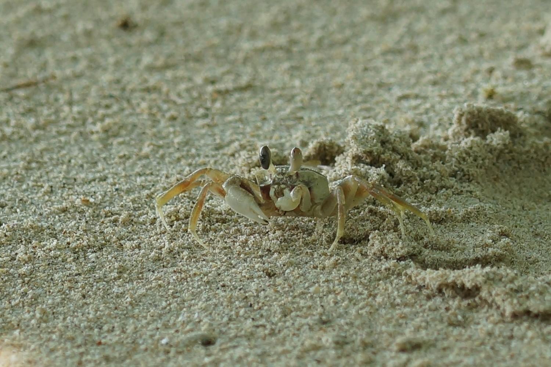 <i>Ocypode</i> sp. (Reiterkrabbe)