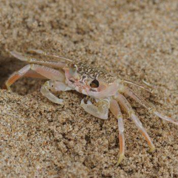 Crustacea (Krebstiere) - Thailand 2017