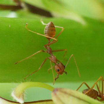 Formicinae (Schuppenameisen)