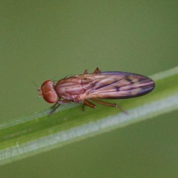 Opomyza germinationis/petrei (Grasfliege)