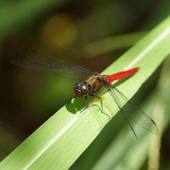 Orthetrum chrysis (Brown-backed Red Marsh Hawk)