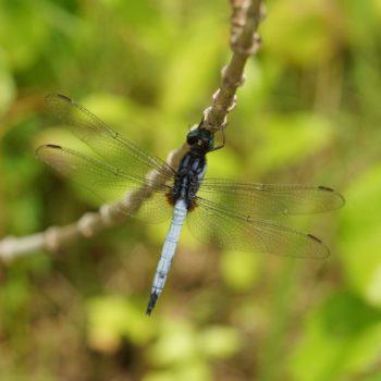 Orthetrum glaucum (Blue Marsh Hawk) - Thailand