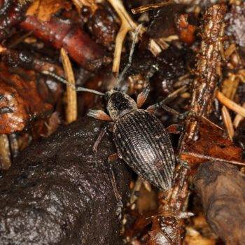 Otiorhynchus sensitivus (Rüsselkäfer)