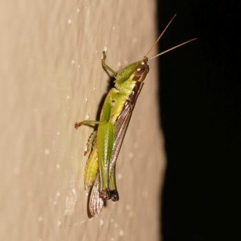 Oxya sp. (Feldheuschrecke) - Thailand