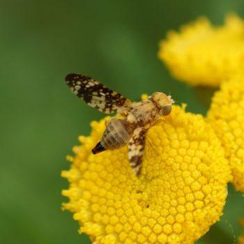 Oxyna flavipennis (Bohrfliege)