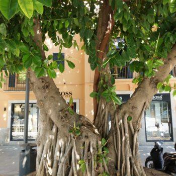 Baum in Palma de Mallorca