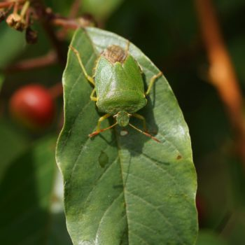 Palomena prasina (Grüne Baumwanze)
