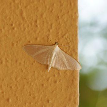 Palpita vitrealis (Jasmine Moth) - Mallorca