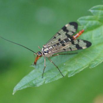 Panorpa communis (Gemeine Skorpionsfliege)